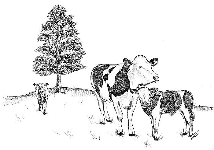 Illustration ko, tecknad ko, illustration, Illustratör Falköping